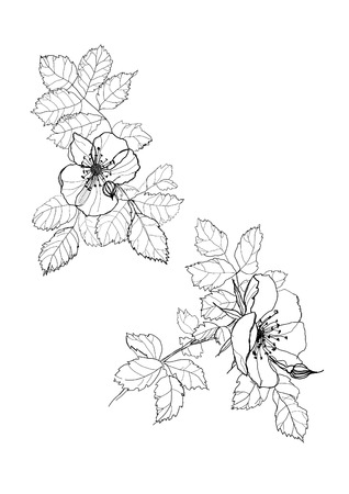 dog-rose flowers pen drawing on white background
