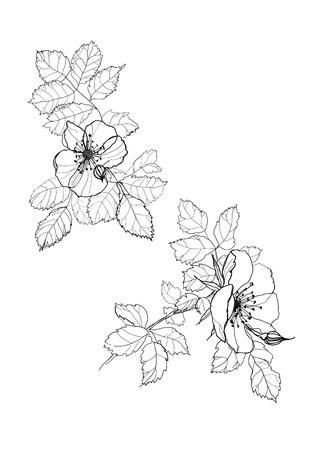 eglantine: dog-rose flowers pen drawing on white background