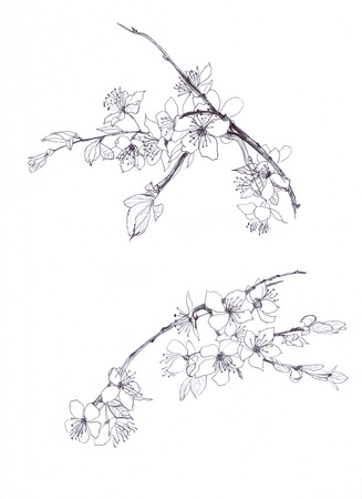 cherry blossom hand drawn pencil Standard-Bild