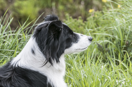 bordercollie staring in the field