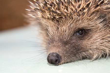 Forest cute hedgehog closeup Stock Photo