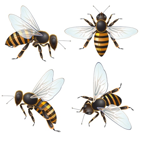 honey bees: Set of bee, isolated on white  Illustration