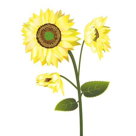 sunflower isolated: Girasol aislado sobre fondo blanco Vectores