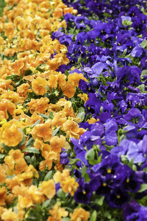 hybridization: orange and blue pansies in a flowerbed