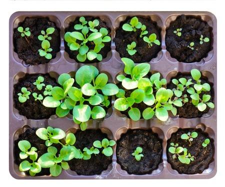 Seedlings in the spring. Flower seedling. Sunflower seedlings. Isolated on white background