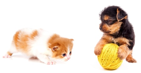 little kitten and puppy fighting over a toy
