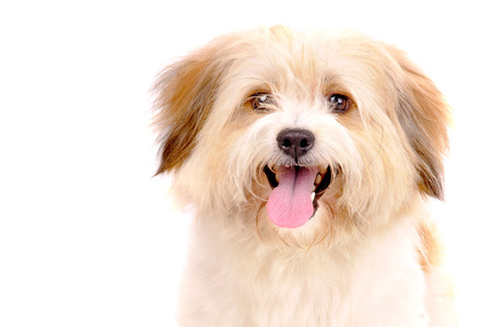 little dog isolated in white Stock Photo
