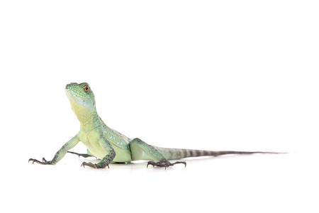reptile isolated on white background Imagens - 74218839