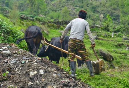 Young Nepalese Man plowing the field with bulls. Nepal, Annapurna Base Camp track.