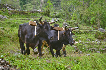 Two Bulls with yoke plowing the field. Nepal, Annapurna Base Camp track.