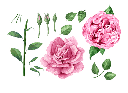 Set, collection of Rose flowers, petals and leaves isolated on white background. 写真素材