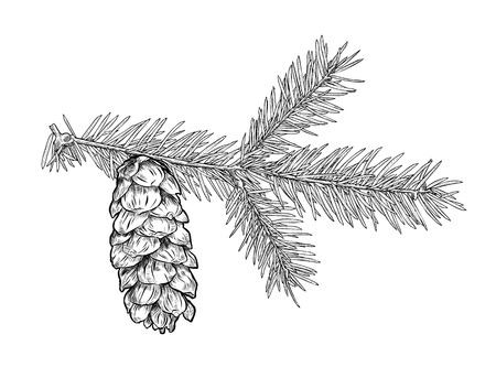 Hand drawn Fir tree branch with cone isolated on white background. Illustration