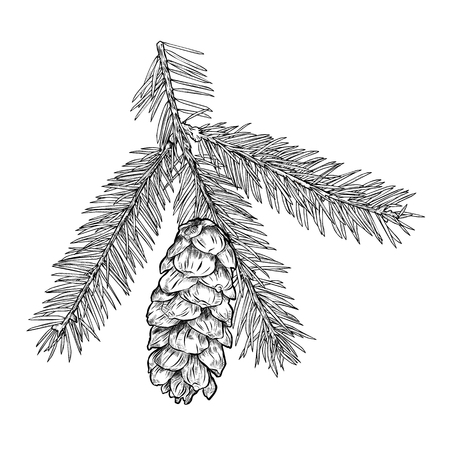 Hand drawn Fir tree branch with cone isolated on white background. Vector illustration
