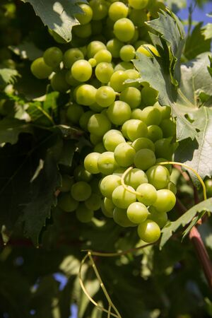 green grapes on a branch. harvesting. environmentally friendly product