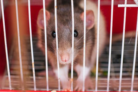 black and white rat in a cage. rodents Foto de archivo