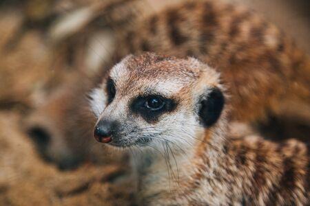 Brown meerkat in a sandy area. Mongoose