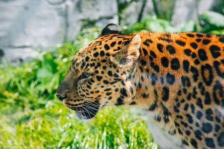 Leopard Big spotted cat. Wild animal Reklamní fotografie
