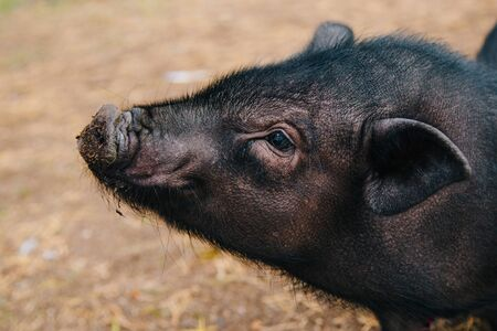 Black mini pig. Domestic pig on a walk. Agriculture