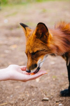 Tame, red fox eats from his hands.animal feeding