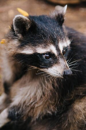 Raccoon is sitting in the forest. Animal with sad
