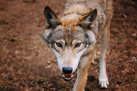 A gray wolf with yellow eyes walks through