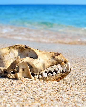 starvation: Dog skull on the beach against blue sky