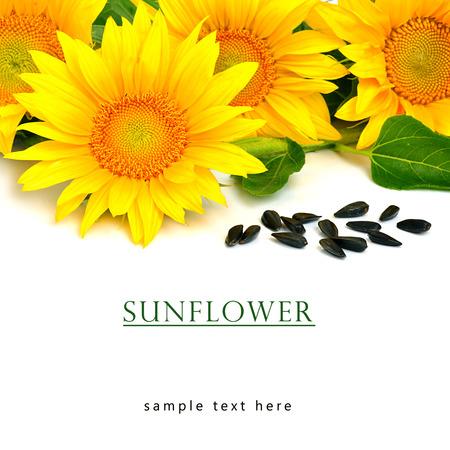 semillas de girasol: Brillantes girasoles amarillos y semillas de girasol aislado en el fondo blanco