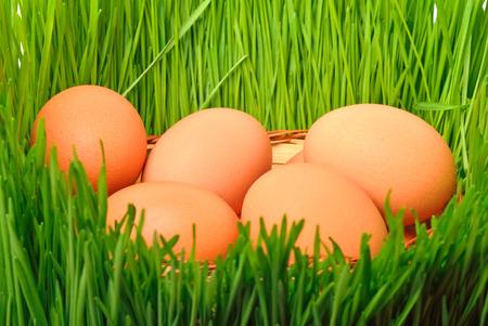 chicken eggs in the green grass background photo