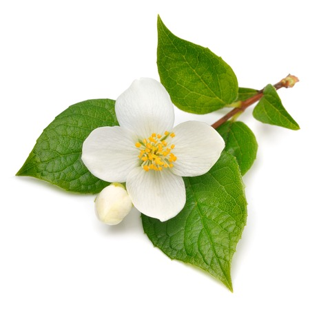 Jasmine fleur isolé sur blanc Banque d'images - 36631818