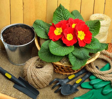 borde de flores: Herramientas de jardiner�a y hermosa pr�mula roja en maceta en el fondo de despido. Foto de archivo
