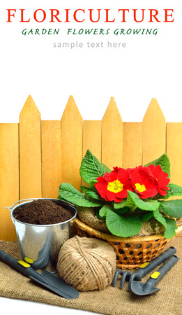 polyanthus: Blooming red spring primulas in flower bed with rake, shovel against wooden fence