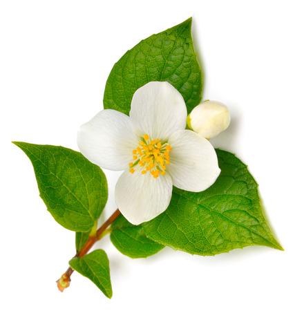 Jasmine Blume isoliert auf weiß Standard-Bild - 38430349