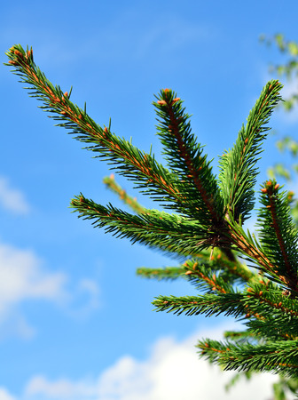fir twig: Green fir twig against blue sky Stock Photo