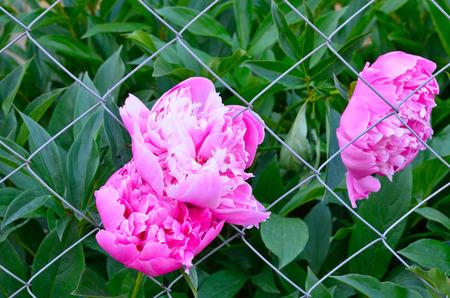 rabitz: Pink peonies in the garden on a background Rabitz
