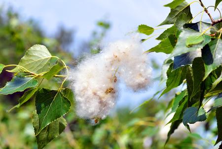 緑の葉の間で小枝にポプラの綿毛