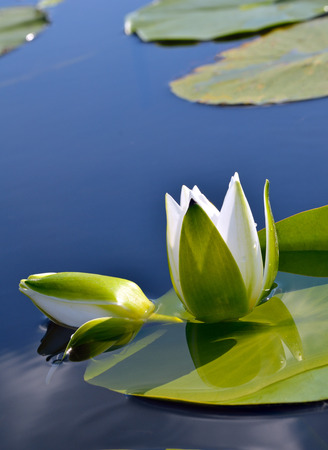 water on leaf: White lily against the blue water and green leaves on the lake