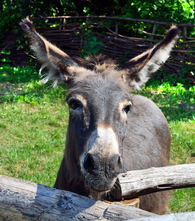 ears donkey: Donkey in the park behind a wooden fence Stock Photo