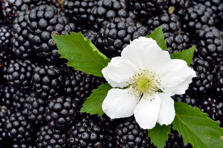 blackberry: The blackberry. Many blackberry. Blackberry background