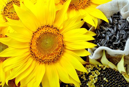 girasol: Girasoles amarillos brillantes y semillas de girasol en la bolsa Foto de archivo