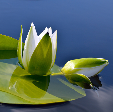 white lily: White lily against the blue water and green leaves on the lake