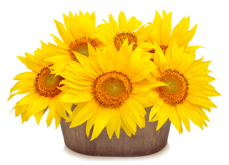 Bouquet of beautiful sunflowers in pod isolated on white background Stock Photo
