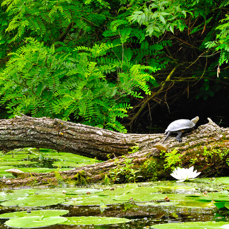 water turtle: Turtle on a log in a forest Stock Photo