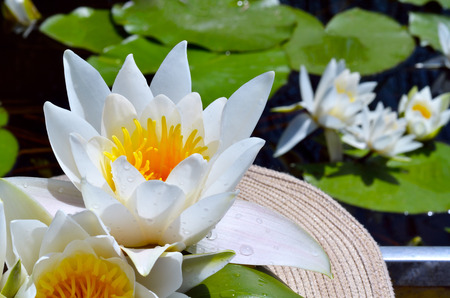Bouquet water lily in the women's hat on a lake among a green leaves.