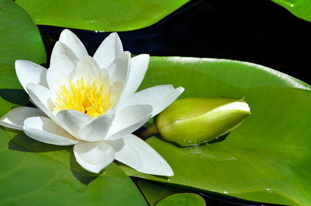Flowering Water white lily on the river Dnieper. Blossoming Water-lily. Standard-Bild