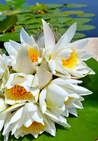 Bouquet water lily on a lake among a green leaves.
