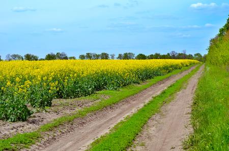 Raps (Brassica napus). Feld von leuchtend gelben Raps im Sommer. Standard-Bild - 60807700
