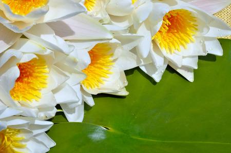 Bouquet water lily on a green leaf background. Standard-Bild