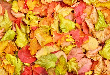 Fallen autumn leaves background.