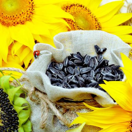 Sunflower and sunflower seeds in sackcloth bag, selective focus. Standard-Bild