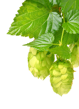 hop isolated on a white background